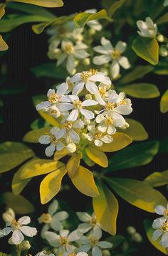 Close up of Choisya ternata 'Sundance', Mexican Orange Blossom in a flower border