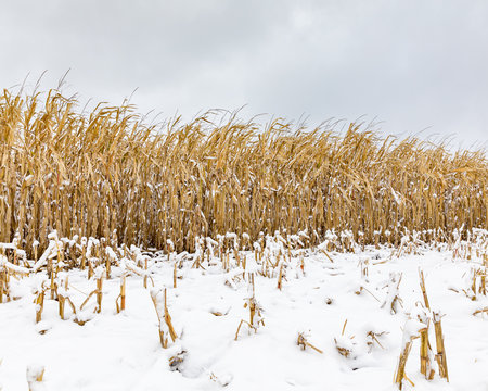 Cornfield with cornstalks and ears of corn covered in snow. An early winter snowstorm stopped the late harvest season in central Illinois