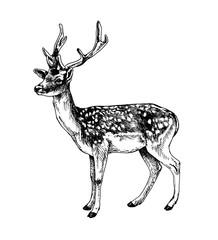 Fallow deer standing