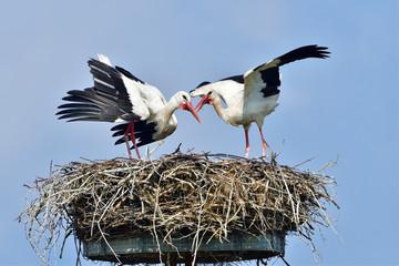 Weißstörche auf dem Nest Fototapete