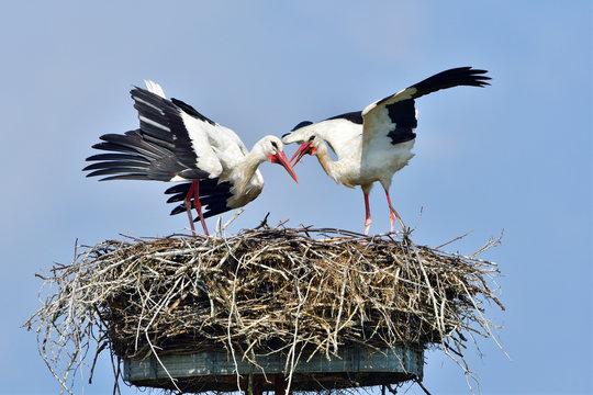 Weißstörche auf dem Nest
