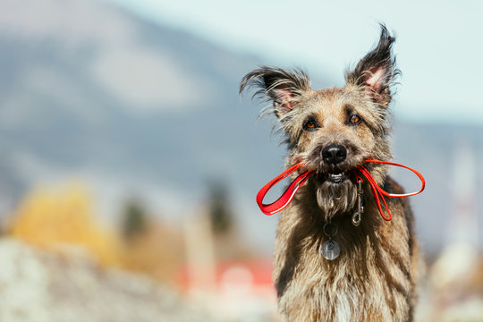 Cute fluffy dog in a collar holds a leash in the mouth. She is lost and stands alone.