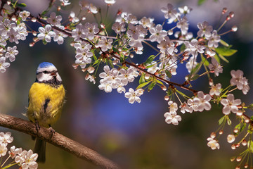 Papiers peints Oiseau beautiful little bird tit azure sits on a branch of a flowering white cherry in the may garden and sings a song