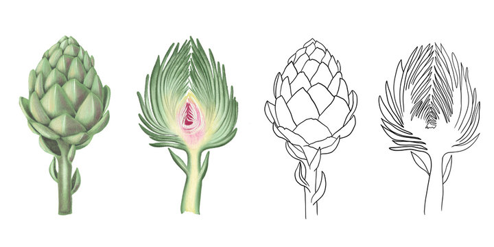 Collection of isolated watercolor and graphic artichoke, hand drawn illustration on a white background