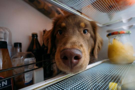Hund blickt hungrig in Kühlschrank