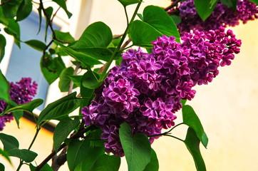 Spoed Foto op Canvas Lilac beautiful purple lilac in the park
