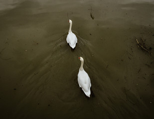 two white swan on the body of water