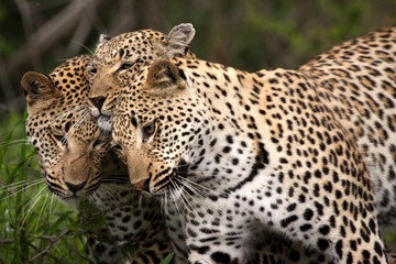 Wildlife photo of black-and-brown leopards