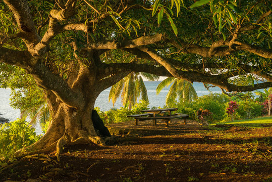 A mature Banyan tree capture at sunset from the viewpoint of being under the canopy. Shot on the island of Taveuni in Fiji.
