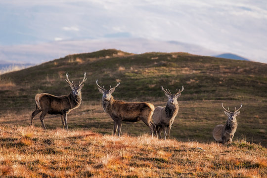 Red Deer Stags in Glen Loth