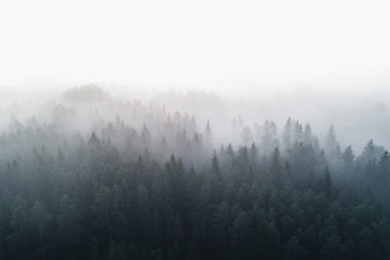 Pine forest in early morning fog 1