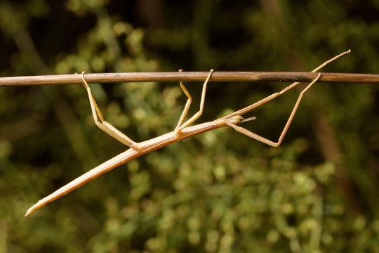 stick insect (Bacillus rossius) in rose