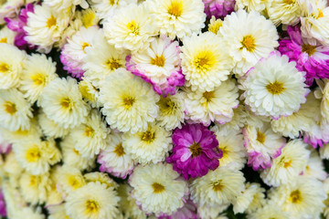 Beautiful white and purple chrysanthemums