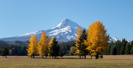 Mt Hood with bright yellow trees in the foreground in the fall