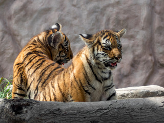 Two tiger cubs watching their world