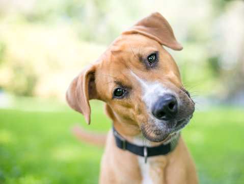A cute young Retriever / Pit Bull Terrier mixed breed dog listening with a head tilt