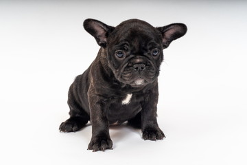 French Bulldog Puppy, 6 weeks old.