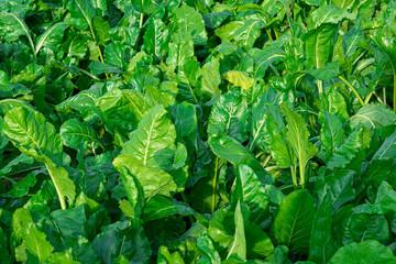 Leaves of fodder beet, background.