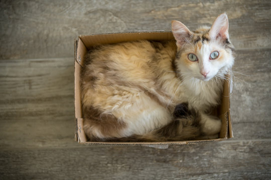 A white LaPerm longhair cat sitting in a cardboard box and looking up into the camera.