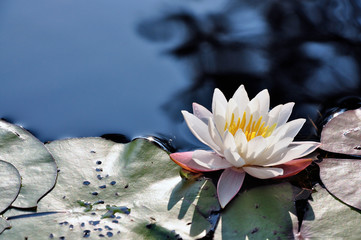 Wall Murals Water lilies This beautiful water lily in a pond is a sign of summer.