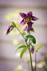 purple Columbine on blurred background