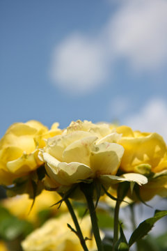yellow roses against blue sky background