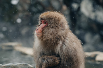Snow Monkey Macaque in Nagano Japan