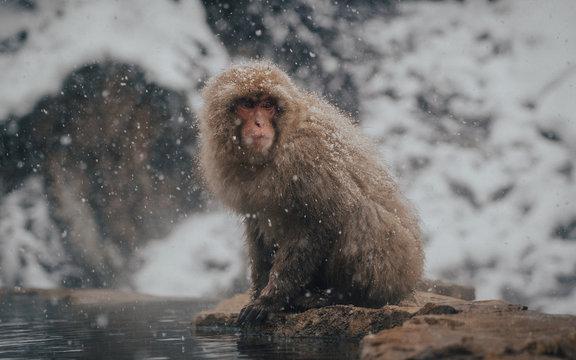Snow Monkey Macaque in Nagano Japan