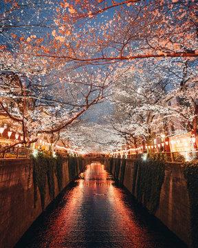 Tokyo river cherry blossom spring season