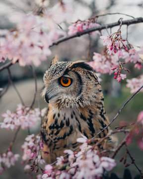 Owl in Kyoto Japan during Cherry Blossom