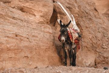 Foto auf Leinwand Esel Esel Petra Jordanien