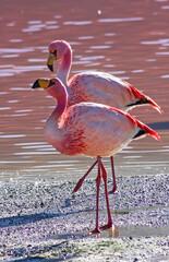 Photo sur Aluminium Flamingo James flamingos (Phoenicoparrus jamesi) against the pink water of Laguna Colorado, Salar de Uyuni, Bolivia
