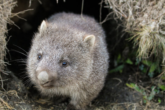 A common wombat (Vombatus ursinus) baby (joey) coming out of its burrow in the grassland - Cradle Mountain, Tasmania Australia