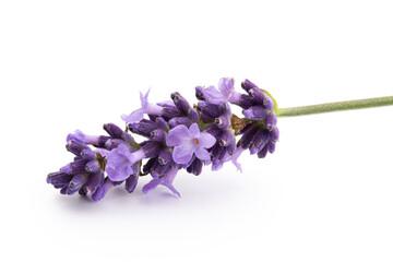 Keuken foto achterwand Lavendel Lavender flowers on a white background.