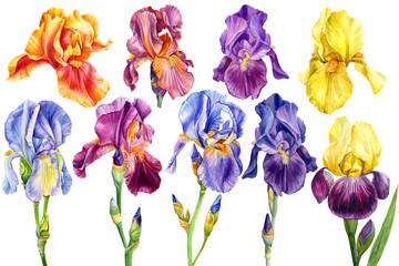 set of flowers irises on an isolated white background, watercolor painting, botanical illustration, wedding summer plants