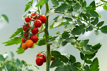Beautiful red ripe cherry tomatoes