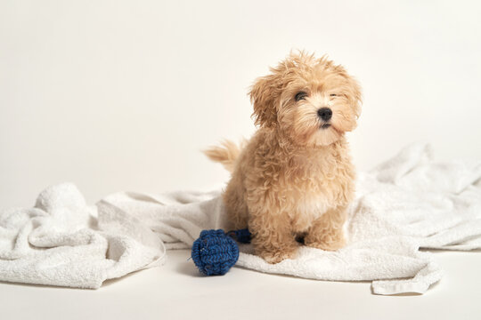 puppy playing with a toy on a towel on a white background