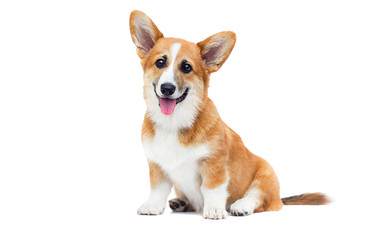 welsh corgi puppy looks up on an isolated background