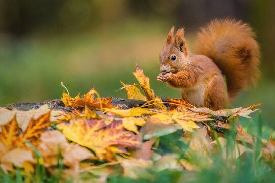 Cute red Eurasian squirrel with fluffy tail sitting on a tree stump covered with colorful leaves feeding on seeds. Sunny autumn day in a deep forest. Blurry yellow and brown background.