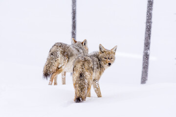 Two Coyotes (Canis Latrans) traveling through a snowy landscape in Yellowstone National Park, USA.
