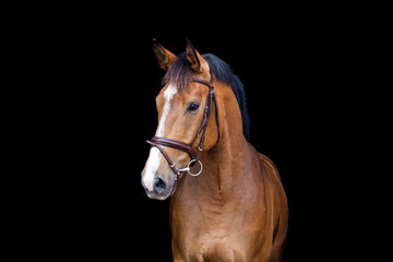 Brown horse portrait on black background