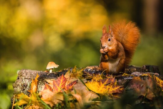 Cute red Eurasian squirrel with fluffy tail sitting on a tree stump covered with colorful leaves and a mushroom feeding on seeds. Sunny autumn day in a deep forest. Blurry yellow and brown background.