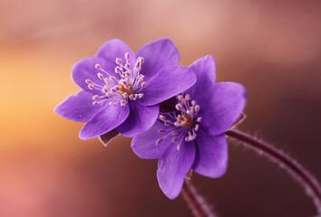 Leinwandbilder - Przylaszczki - wiosenne kwiaty