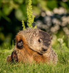 marmot scratching his head. Funny picture