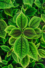 Detail of leaves of nerve plant (Fittonia)