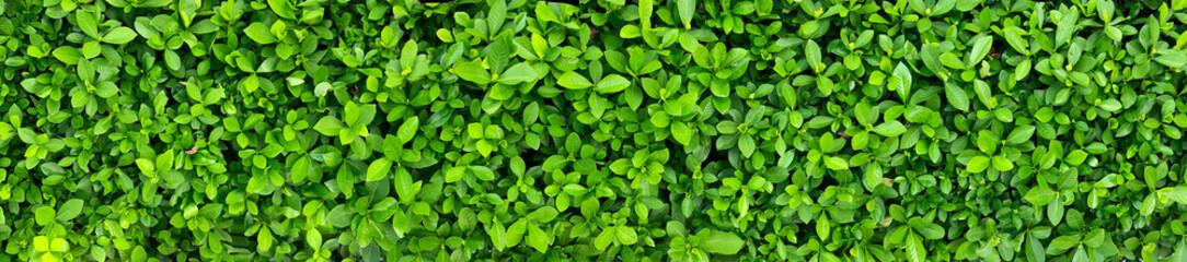 Green Leaves background paronama view. Fototapete
