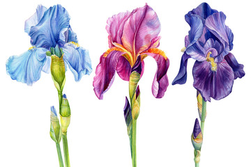 watercolor flowers, iris on a white background, beautiful plants, floral design, botanical illustration