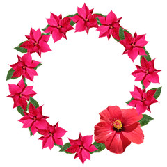 Fototapete - Beautiful floral circle of hibiscus and poinsettia. Isolated