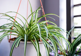 Acrylic Prints Plant Spider plant in white pot at balcony
