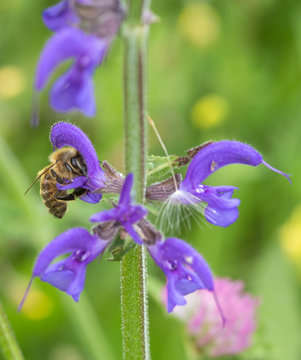 Macro of a honey bee on a meadow clary (salvia pratensis) blossom; save the bees pesticide free environmental protection concept